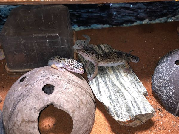 Leopardgecko lat Eublepharis macularius 89EUR