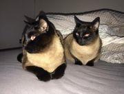 2 Siam Katzen Geschwister