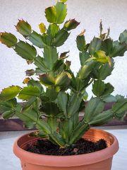 Weihnachtskaktus Osterkaktus Zimmerpflanze Kaktus Ampelpflanze