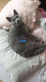 Bkh Kater und Katze