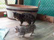 Bengalen Kitten zu verkaufen
