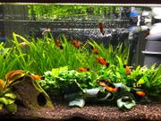 Aquarium Platys
