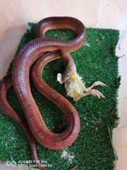 Kornnatter blood red weiblich