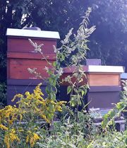 Carnica Jung Völker Bienen