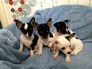 Chihuahua Welpen auf der Suche