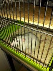 Ratten süß und zutraulich zu