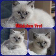 Britische Kurzhaar Blue Point Kitten