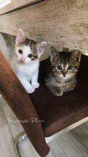 Kitten 2 Geschwister