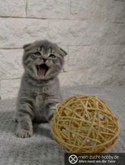 ABHOLBEREIT wunderschöne BKH Kitten