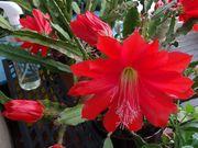 großer roter Blattkaktus Epiphyllum Kaktus