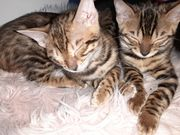 Bengal kitten ab sofort
