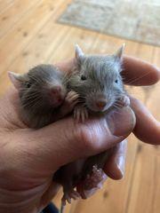 Zwei Degu-Jungs Lilac Schoko