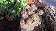 Gr Landschildkröten NZ abzugeben
