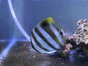Parachaetodon ocellatus Segelfalterfisch - Fünfbinden-Falter für