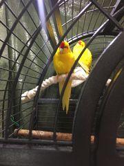 Vogelkäfig mit 2 ziegensittchen