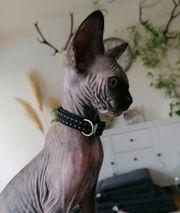 Sphynx Kitten - Mädchen total verschmust