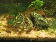 Aquarium Fische Wels Panzerwelse