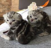 Bezaubernde bkh Kitten black silver