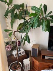 Zimmerpflanze Geigen-Feige-Ficus Warb