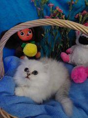 Perser kitten Junge