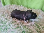 skinny Pig weibchen