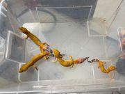 Leopardgeckos abzugeben DNZ aus 2019