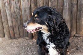 King - im Herzen ein Kind: Kleinanzeigen aus Kirchzell - Rubrik Hunde