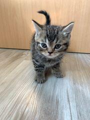Verkaufe kleinegesunde Katzen 6 woche