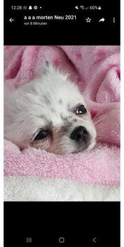 puppy reinrassig chihuahua