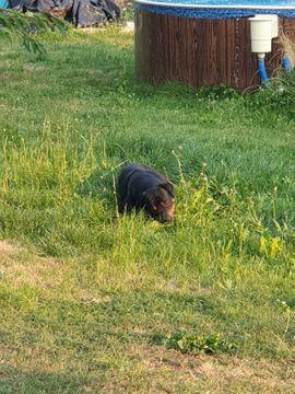 Rottweiler Dopermann mischling
