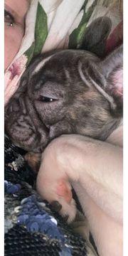französische Bulldogge Mädchen reserviert
