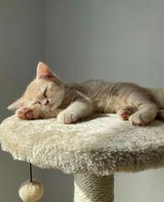 Britisch Kurzhaar Creme Kätzchen