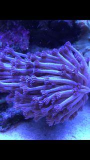 Goniopora LPS lila blau