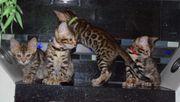 Reinrassige ALC Bengal Kitten mit