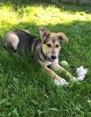 AMIKA - 8 Monate - Schäferhund-Mischling Hündin