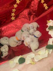 Bkh Britisch Kurzhaar Kitten mit