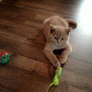 BKH Scotish Fold Katzenbabys
