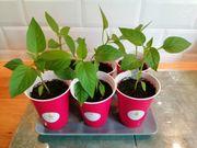 Paprikapflanze rote Paprika Pflanze Garten