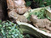 Pogona henrylawsoni zwei Männchen