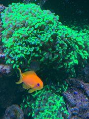 Diverse Korallenableger wie Kupferanemone Euphyllia