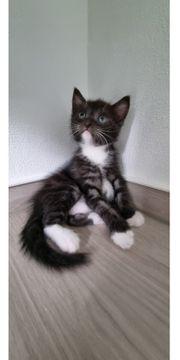 Wunderschönes Katzenbaby reserviert bis Samstag