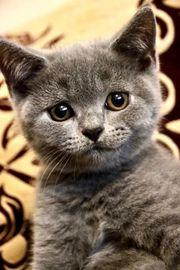 Hübsche BKH Kitten