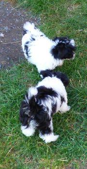 Minidoodle Yorkipoo-Welpen Hybridhunde Zwergpudel x