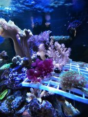 Rote Traubenalge Meerwasser auf Plug