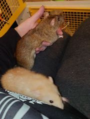 Fuzz und Topaz Agouti Rattenwürfe