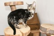 Abgabebereites menschenbezogenes Bengal Kitten - aus