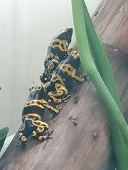 Dendrobates leucomelas auratus