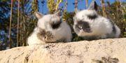 Kaninchen Zwergwidder Babys Nachwuchs