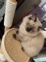 Ragdoll kitten traumkatzen ab sofort