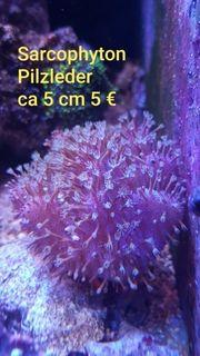 sarcophyton Pilzleder Korallen Meerwasser LPS